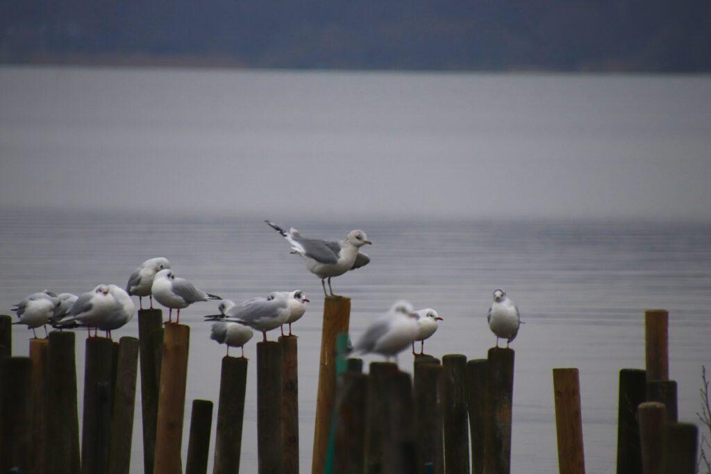 Möwen am Zwischenahner Meer, Bad Zwischenahn